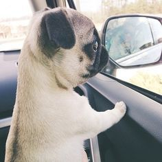 Pug pup looking out the window