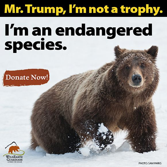 """Trophy hunters and trappers—and the state wildlife agencies that promote them—rejoiced on election night knowing they'd have a friend in the White House. Trump's plan will be to gut the ENDANGERED SPECIES ACT through """"regulatory rollbacks"""" and """"business friendly policies.""""  HELP PREVENT THIS ATROCITY FROM HAPPENING!"""