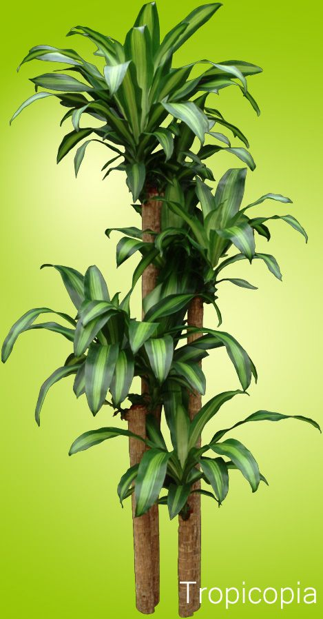 dracaena corn plant light med high water let 50 75 dry before rh pinterest com