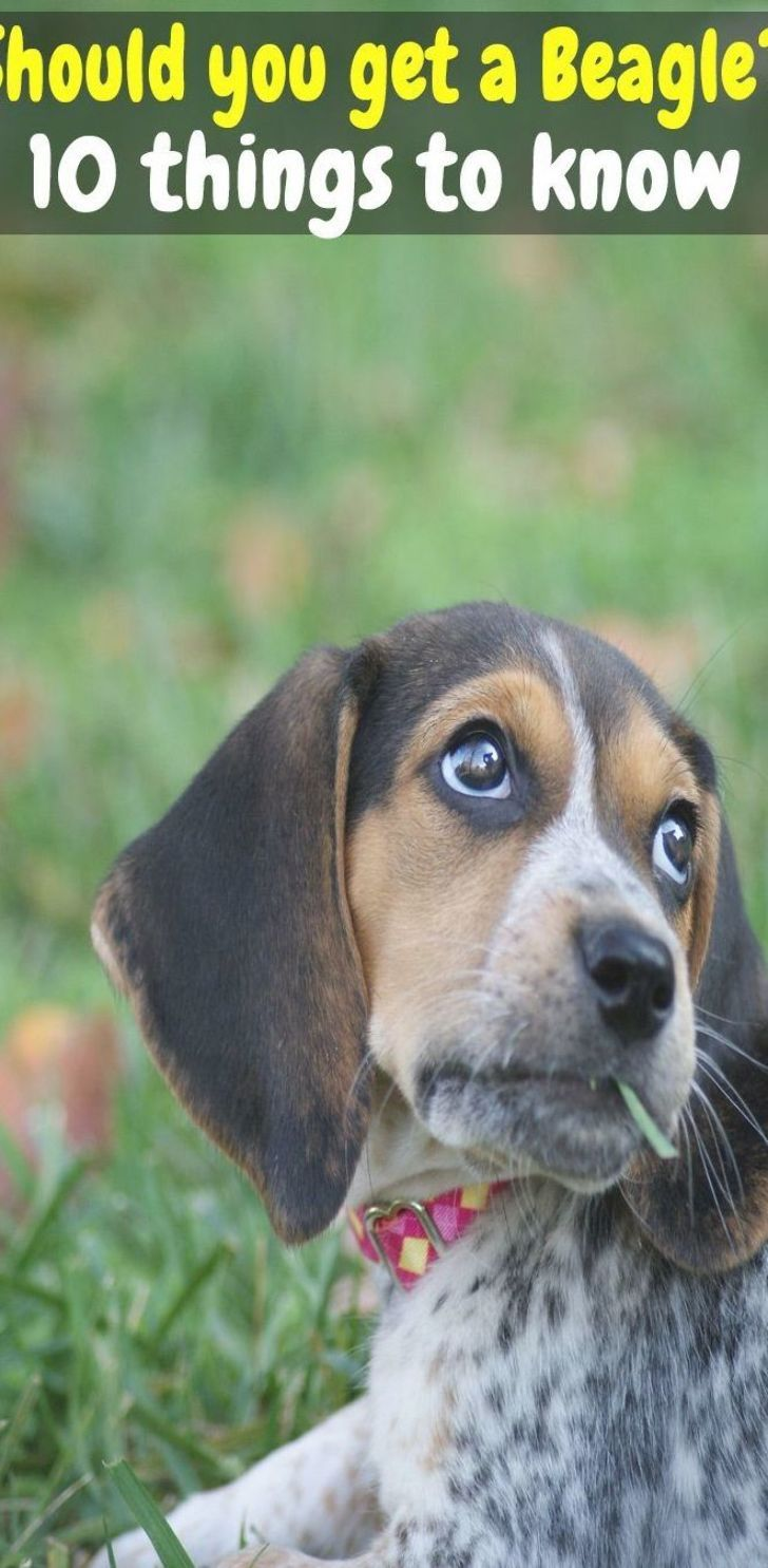 10 Things You Need To Know Before Getting A Beagle Beagle Puppy Tips How Big Do Beagles Get Pocket Beagle Full Grown Buying A Be In 2020 Beagle Bulldogge Welpen