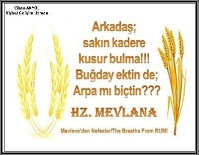 Arkadaş sakın kadere kusur bulma! Buğday ektin de, arpa mı biçtin? -Hz. Mevlana