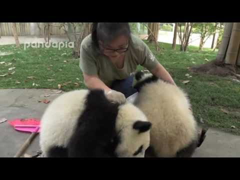 It's official, pandas are worse than children