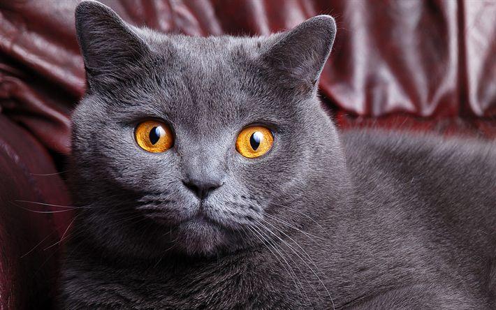 Download wallpapers british shorthair cat, 4k, gray big cat, pets, portrait, brown eyes, cat breeds