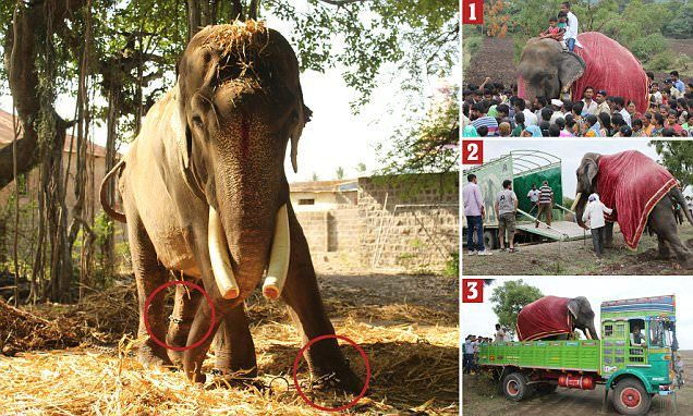 Jumbo's escape... from 50 years in chains in India