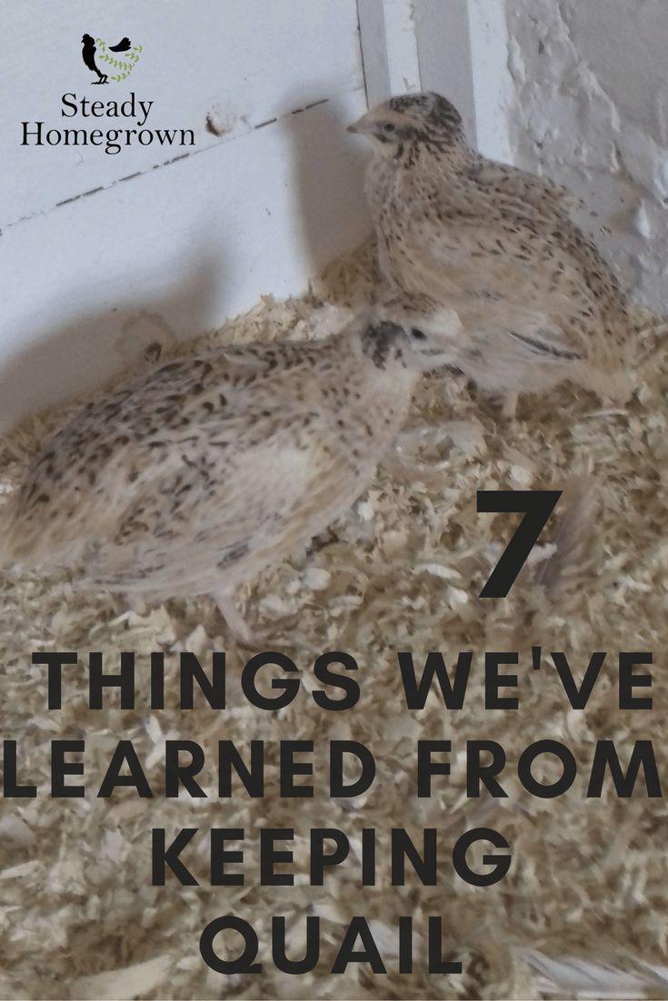 1091 best quails images on pinterest quails farm animals and