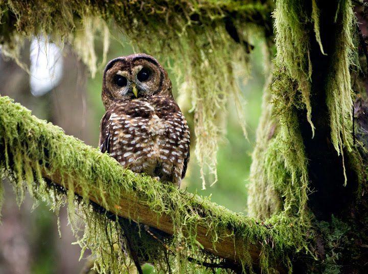 Northern spotted owl http://3.bp.blogspot.com/_zNH-Z92VFDA/TDvfgyg2VgI/AAAAAAAAEBQ/_wrBkvTroVQ/s1600/web-Northern-spotted-owl-07.jpg