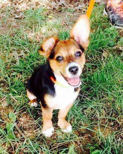 Corgi terrier mix puppy