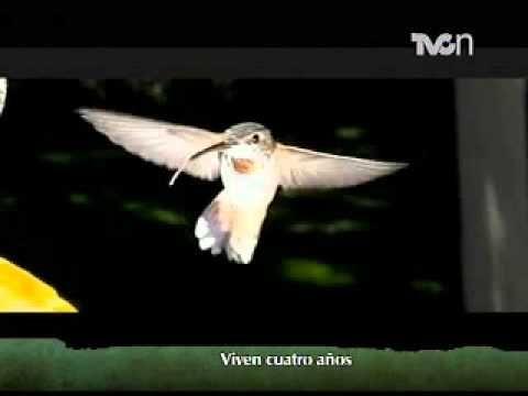 El colibrí: una especie que vive poco tiempo - YouTube