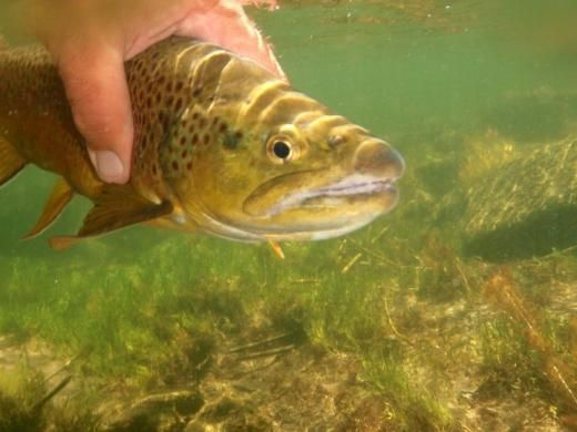 One Fly to Rule Them All | Trout Unlimited - Conserving coldwater fisheries