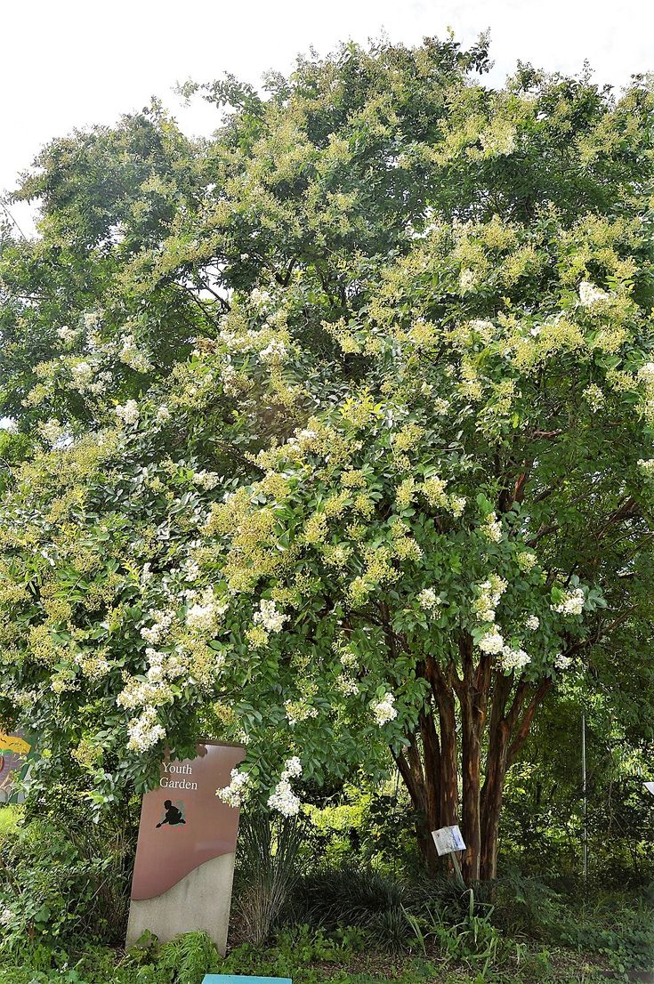 Lagerstroemia 'Natchez' (Crape Myrtle)  Plant Story:  This tree is covered with papery panicles of white flowers on weeping branch tips; decorative bark exfoliates to expose layers of color; shows good resistance to powdery mildew; heat and drought tolerance; does not like to be over-fertilized  Plant Details | RightPlantz.com  #plant #flower #flowers #garden #gardening