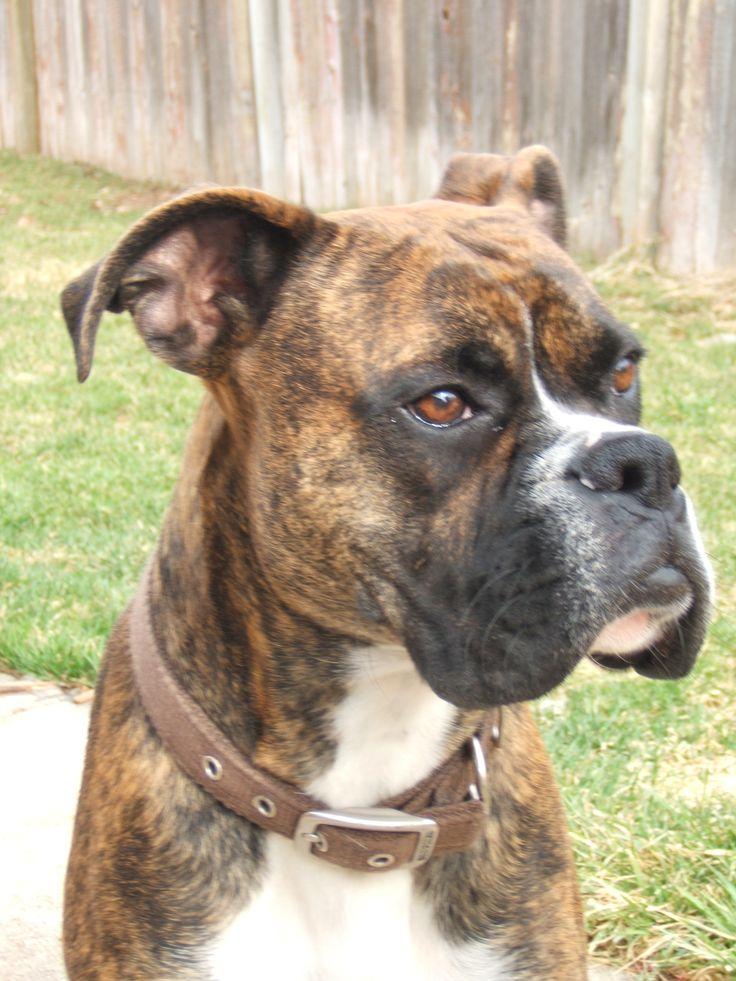 Last pinner...My boxer, Duke.