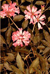 Lapacho Herbal Extract (a.k.a. Ipe Roxo, Taheebo)