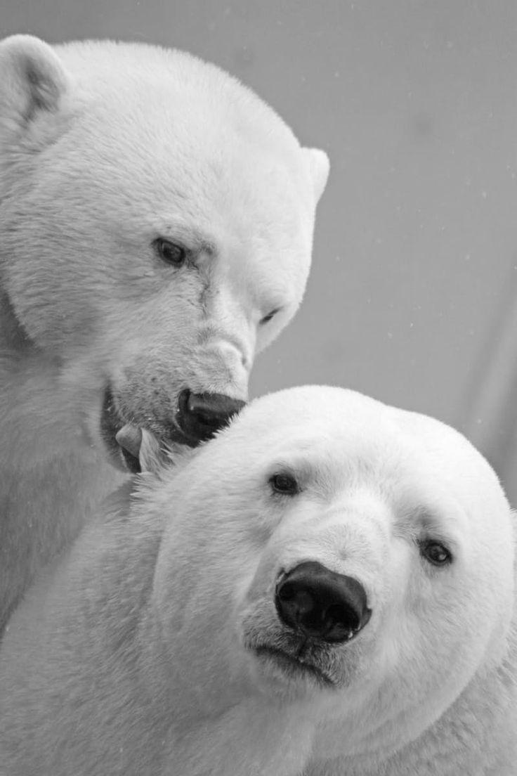 Polar Bears in love