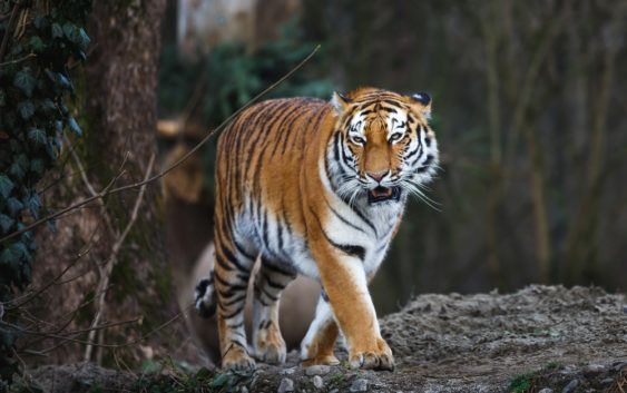 Tygrys syberyjski, tygrys amurski, Panthera tigris altaica
