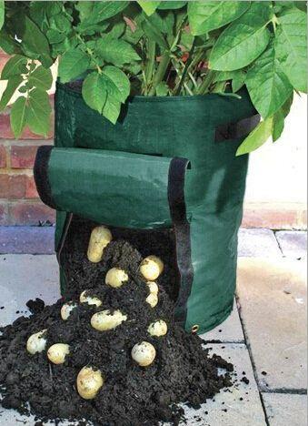 más de 25 ideas en tendencia sobre cultivo de batatas en pinterest