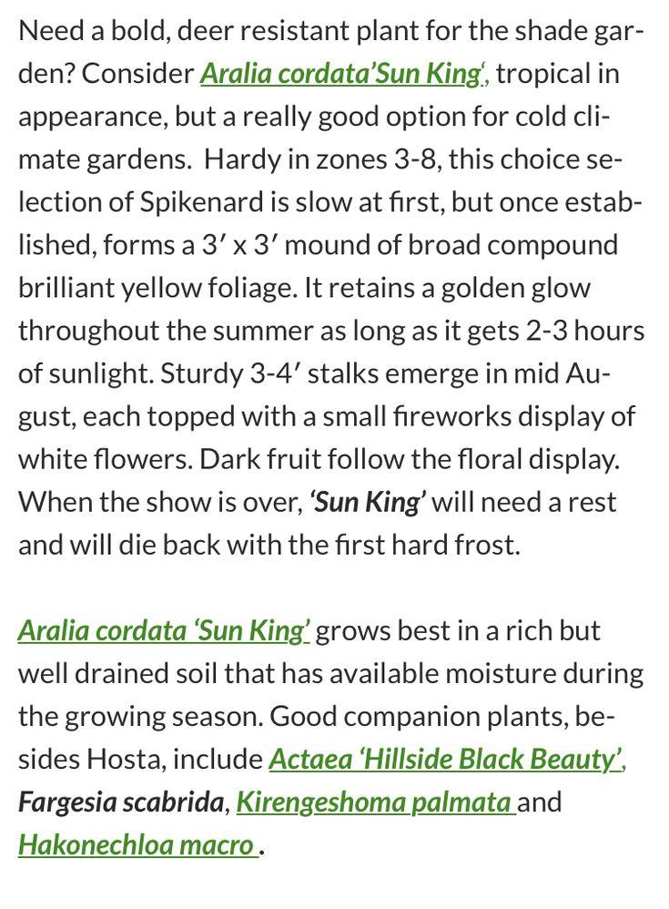 Pin On Garden Aralia Cordata Sun King