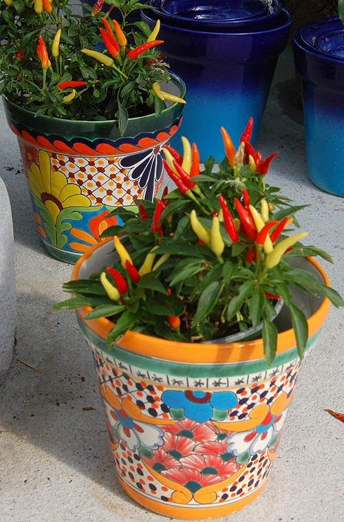 The colors of the tiny pepper plant are enhanced by the vividness of the Mexican pot.