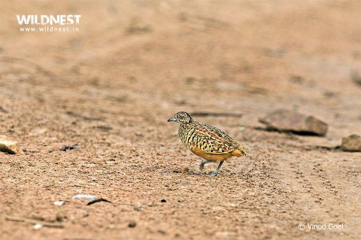 Button Quail at Sariska Tiger Reserve