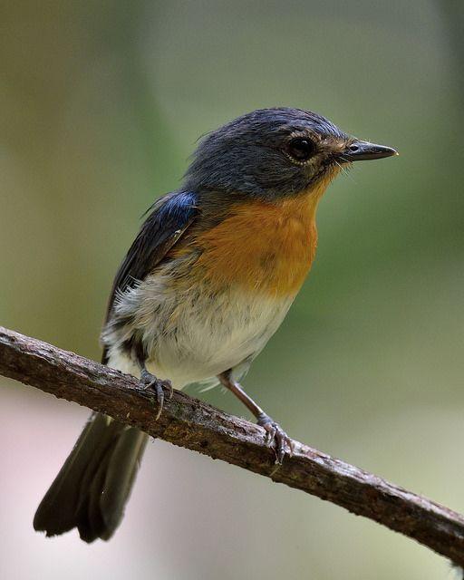 Tickell's Blue Flycatcher (Cyornis tickelliae) - female   by Zakir Hassan