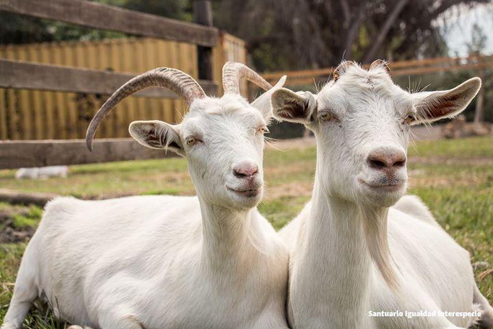 La mejor mamá del mundo   Camilita es una cabra feliz. Se salvó de nacer en una lechería porque su mamá que estaba postrada en ese lugar fue rescatada por unos estudiantes de veterinaria que al ver su terrible situación pidieron a los dueños del lugar llevársela para salvar su vida.   Una vez llegada a la escuela de veterinaria se dieron cuenta de que Luna (a la derecha de la foto) estaba embarazada de dos bebés: Camilita y su hermano Félix. Mamá Luna por primera vez en su vida iba a tener…