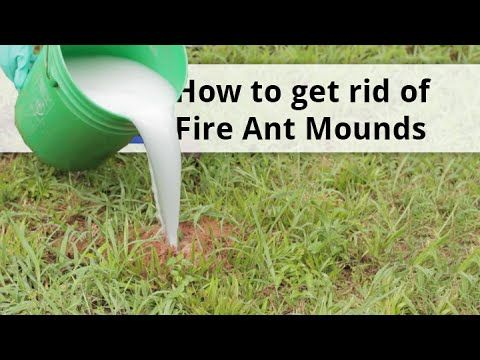 how to get rid of kill fire ants fire ant treatment fire ants pinterest watches fire. Black Bedroom Furniture Sets. Home Design Ideas