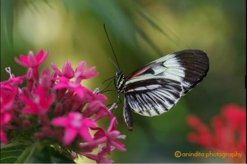 piano key butterfly