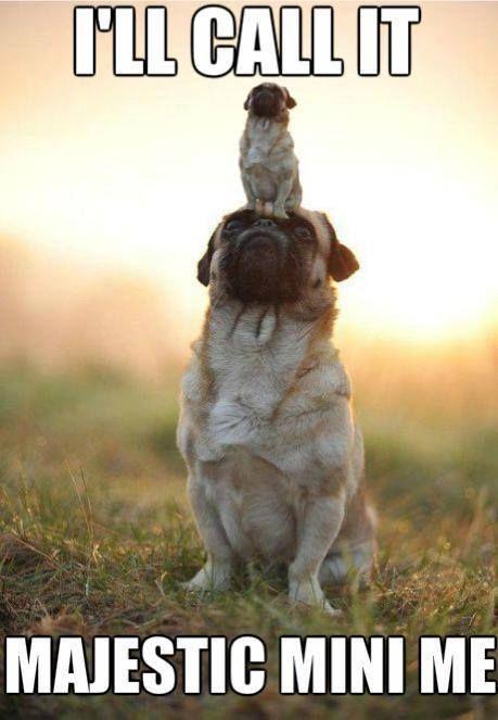 Very cute pug - Mini Me Pug meme - Pug Meme, funny cute pugs