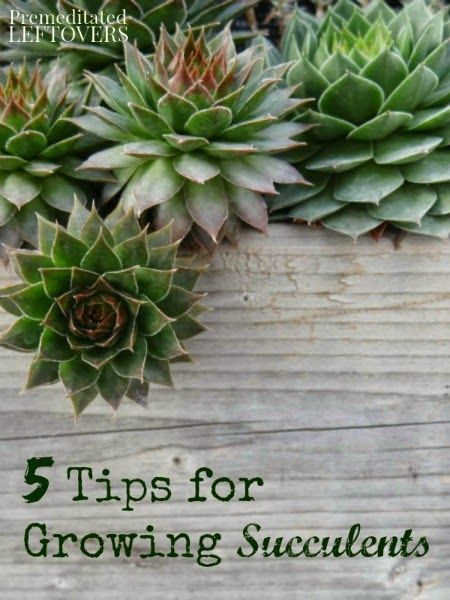 20 best images about terrariums and succulents on for How do you take care of succulents