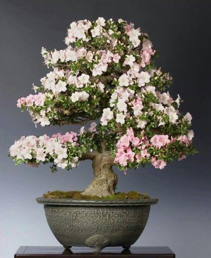 182 besten bonsai bilder auf pinterest bonsai blumen. Black Bedroom Furniture Sets. Home Design Ideas
