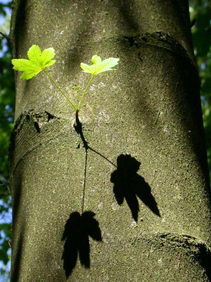 RvD2002-1826 #blad #tweeling #schaduw #zonlicht #helder #groen #boom #boomstam #natuur #wandelen #verwondering #rvdfotografie