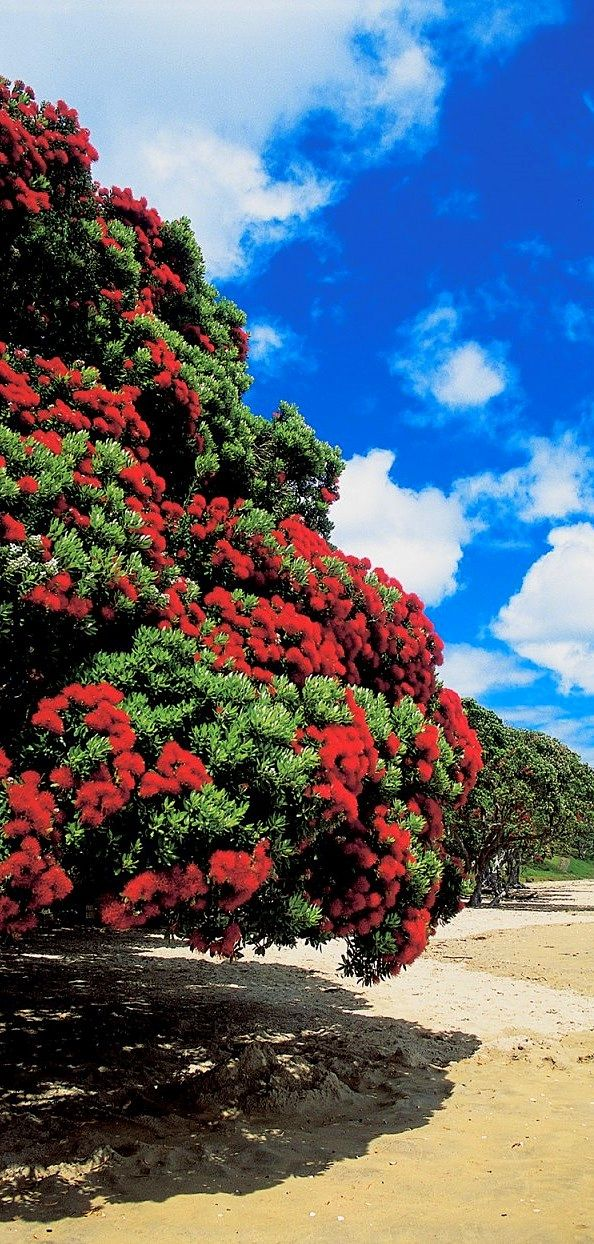 Pohutukawa tree on Doubtless Bay - East Coast of the Northland Region, north-east of Kaitaia in New Zealand