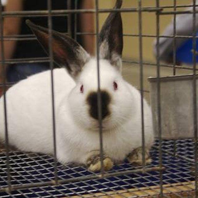 How to Raise Flemish Giants Indoor rabbit, Indoor rabbit