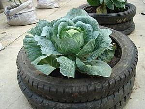 Yeryüzü Derneği, İstanbul'da kendi kent bahçesini kurmak isteyenlere yardımcı oluyor.: Tires Gardens, Gardens Ideas, Garden Ideas, Beats Cabbages, Urban Gardens, Clever Ideas, Elementary Schools, Tires Pots, Schools Gardens