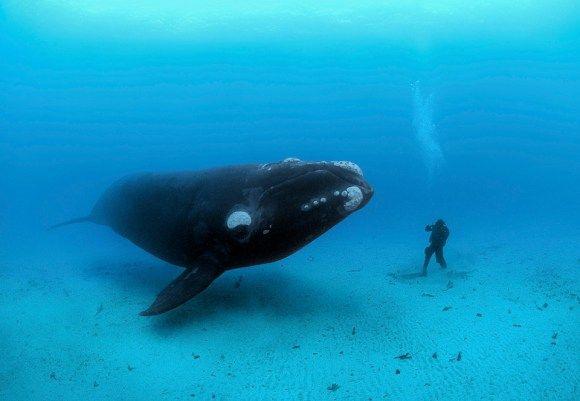 Baleia franca conhecendo mergulhador. Foto por: Brian Skerry