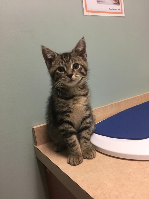 Bob Kitten Back At The Vet Getting Booster Shots Kittens Cats Animals