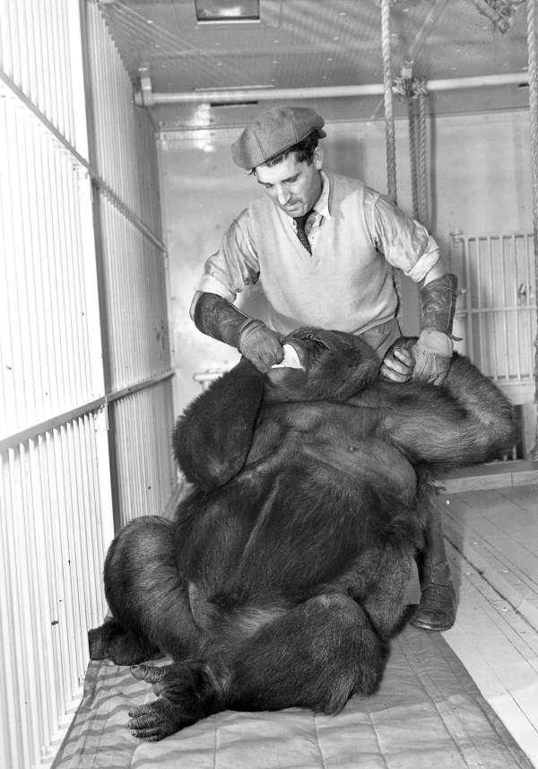 Florida Memory - Ringling Circus gorilla Toto with her keeper Jose Tomas in Sarasota, Florida.