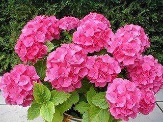 Мобильный LiveInternet КАК ПРАВИЛЬНО ПОСАДИТЬ И ВЫРАСТИТЬ НЕЖНУЮ И ПЫШНУЮ ГОРТЕНЗИЮ | Моя_дача - Пусть будут и цветочки, и ягодки! |