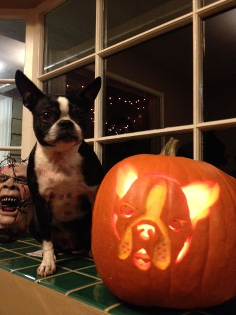 Boston Terrier face carved in a pumpkin for halloween and Roxy the Boston Terrier dog!