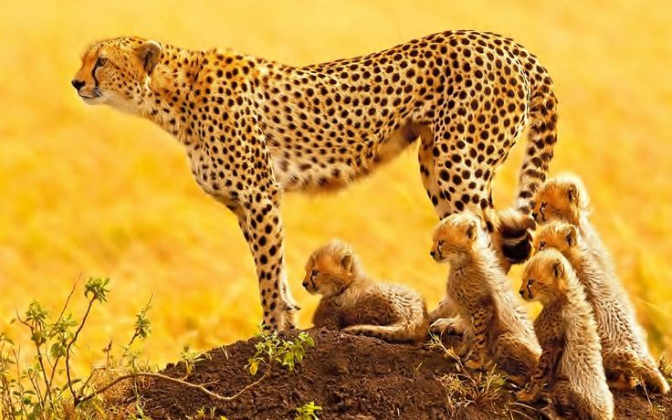 1920x1200px cheetah backgrounds for desktop hd backgrounds by Cayden Smith