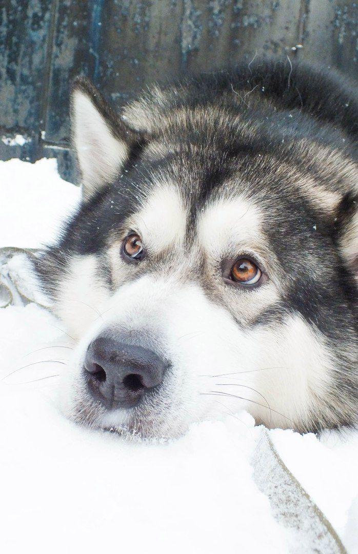 Pin By Alexa Grey On Dogs Lover Malamute Dog Malamute Puppies