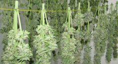 ¿Como hay que secar las plantas de marihuana? - http://growlandia.com/marihuana/como-hay-que-secar-las-plantas-de-marihuana/