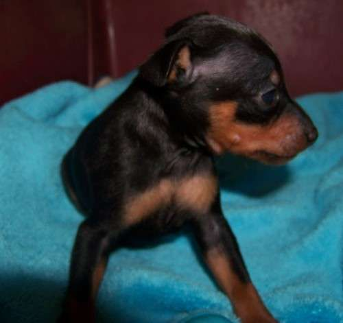 Miniature Pinscher Pups - Ready to go at 8-9 weeks of age.     1 x black/tan female  1 x black/tan male available later in May     3 x black/tan females 3 x black/tan males available Mid July - https://www.pups4sale.com.au/dog-breed/463/Miniature-Pinscher.html