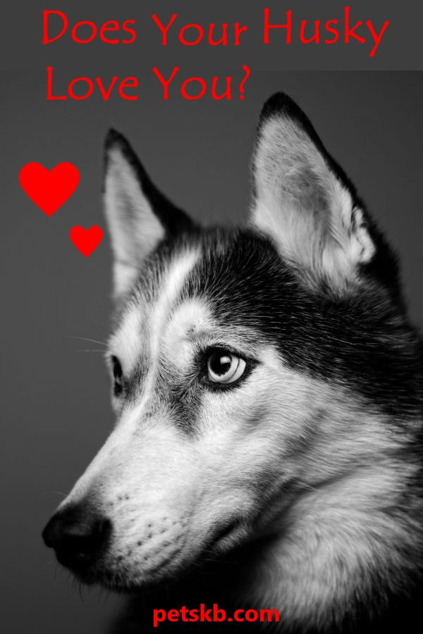 12 Ways To Tell That Your Siberian Husky Loves You Siberian
