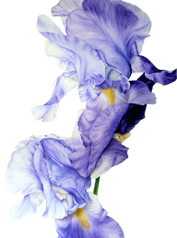 11 x 16 ou 13 x 19 po, aquarelle IRIS II - beaux-arts - grand archivistique botanique impression, d