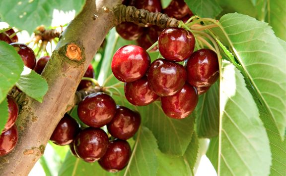 Pick your own cherries in Young