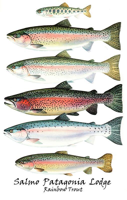 Best 25 salmon species ideas on pinterest salmon for Alaska fish species
