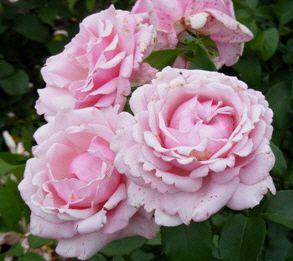 memorial day hybrid tea rose