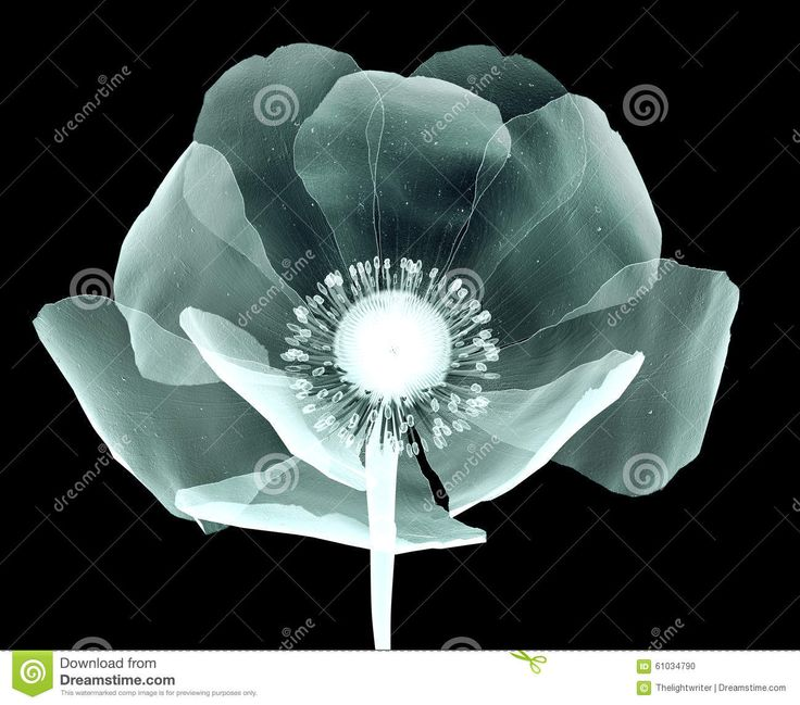 exray Poppy plants - Google Search