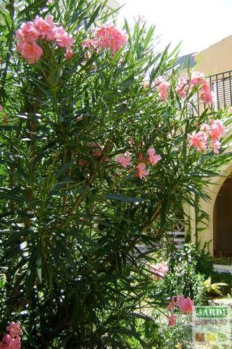 Le laurier rose est un arbuste d une grande beaut dont il for Plantation de fleurs