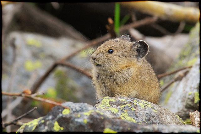 Pika, Grand Teton National Park - 2009 July